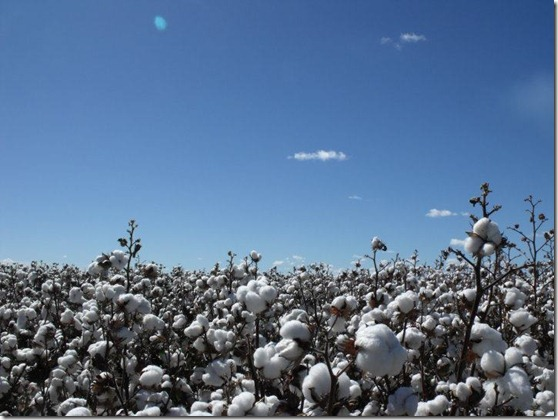 Cotton Cotton Everywhere