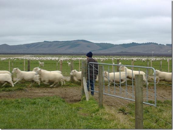 Moving Sheep NZ