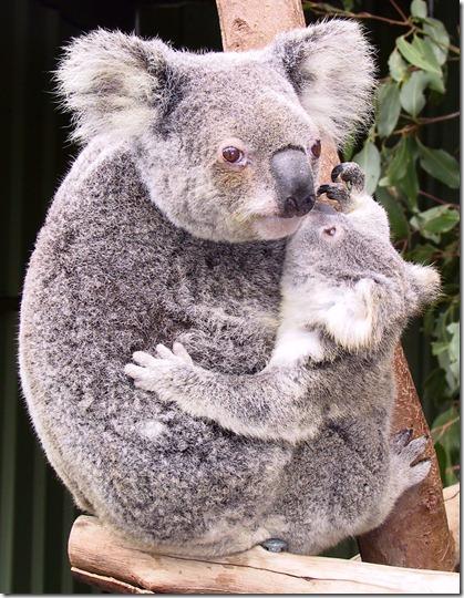 koalas-8378