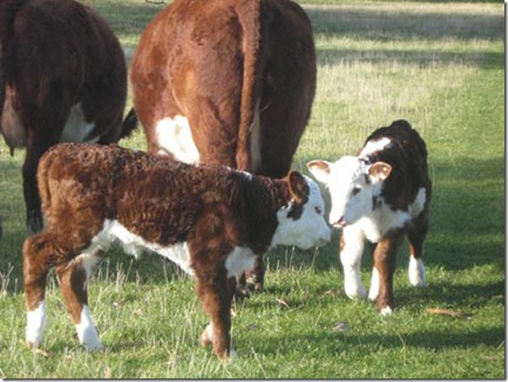 Cows Calves