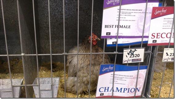 Champion Blue 2013 royal