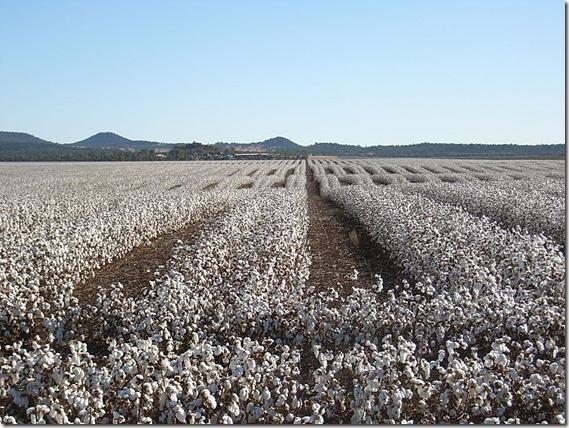A.Mac dryland cotton 2012 pick (11)