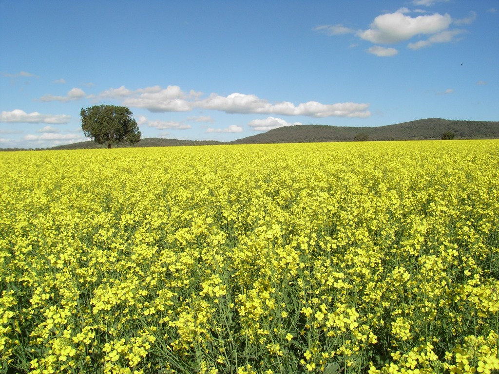 Liverpool Plains Farming The Liverpool Plains a See of