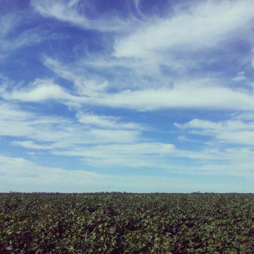 Conventional Cotton crop Mungindi NSW 20122013 season