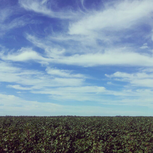 Conventional Cotton crop Mungindi NSW 20122013 season