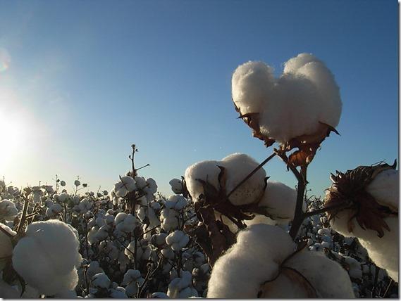 Glencoe cotton 2012 pick Lateral