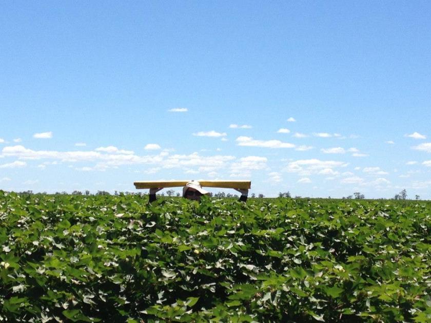 In the field, Moree NSW 20122013 season