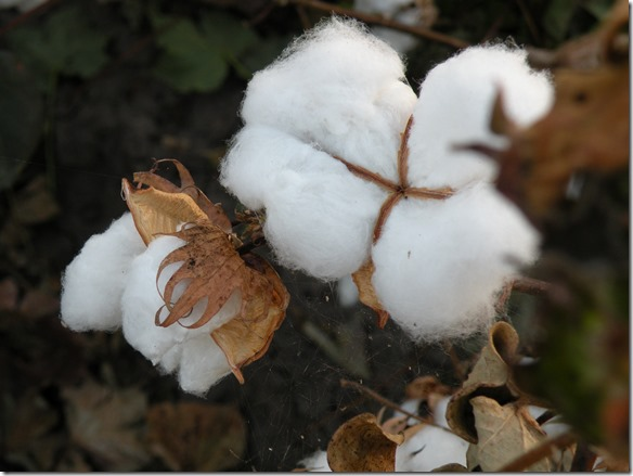 Cotton is my life  (2)
