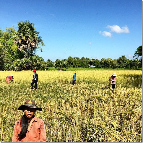 Traditional rice harvest, Phnom Penh Cambodia