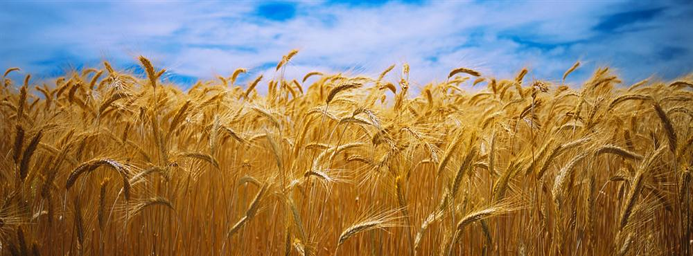 Image result for crop wheat field