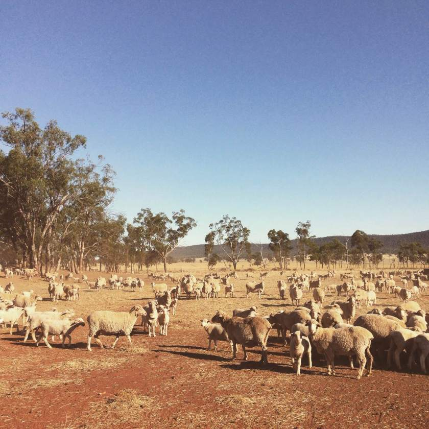 our-breeding-ewes-with-their-lambs