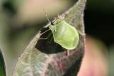 Green Veggie Bug