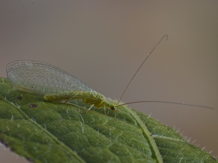 Lacewing_05_KPower