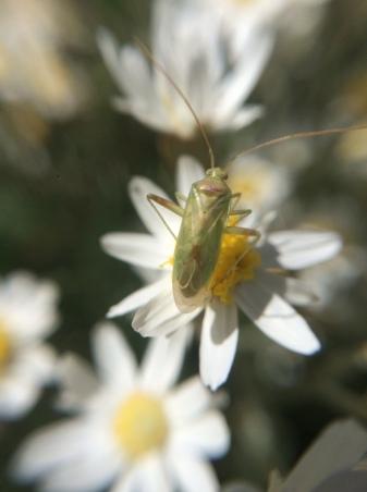 mirid on daisy close up