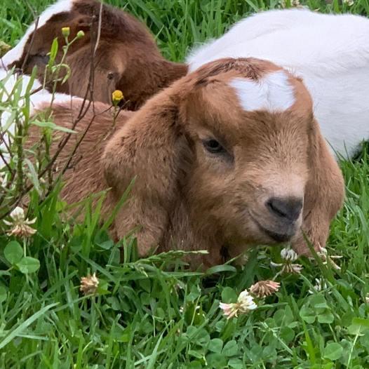 Goat triplets.jpg