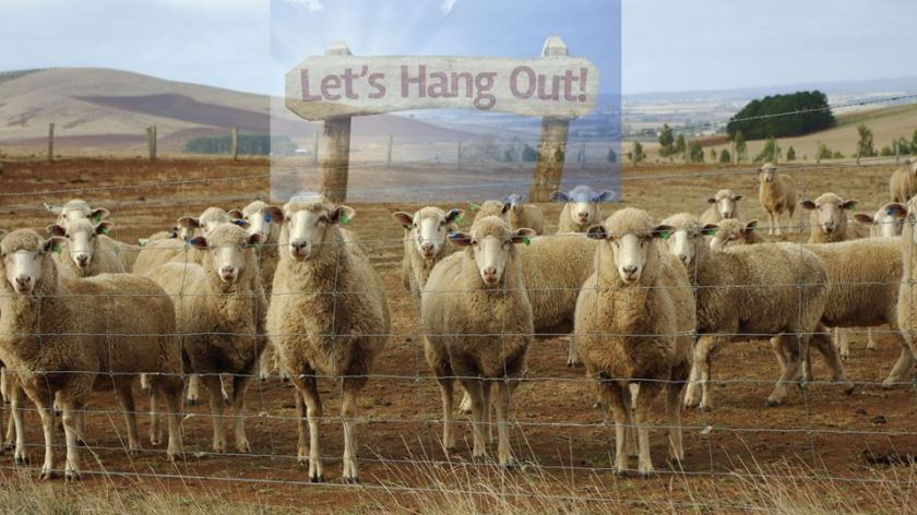 lets hang out sheep