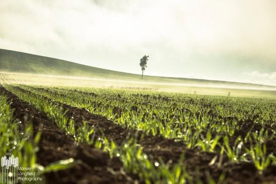 Marlee -Wallaringa Barley Crop_