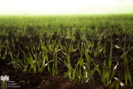 Marlee -Wallaringa Barley Crop_(1)