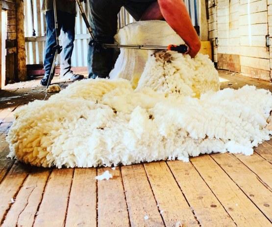 Emma Ayliffe shearing 3