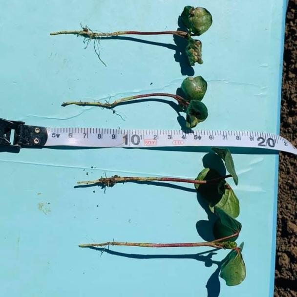emma-ayliffe-trial-cotton-plants.jpg